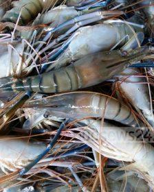 haor shrimp